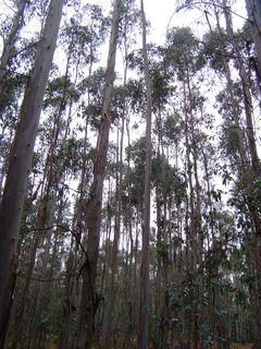 Forêt d'eucalyptus à As Calzadas